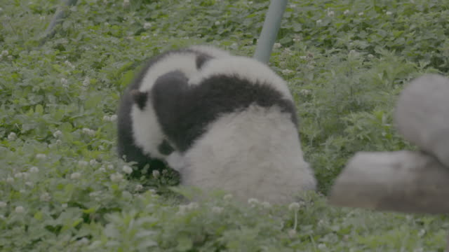 pandas playing in panda center, wolong district, china - rolling stock videos & royalty-free footage