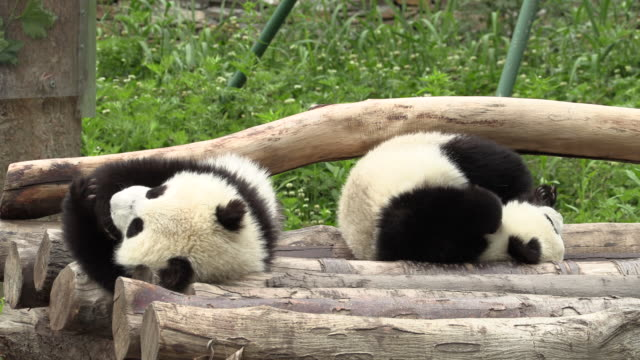 pandas' rough-housing on logs in panda center, wolong district - rolling stock videos & royalty-free footage