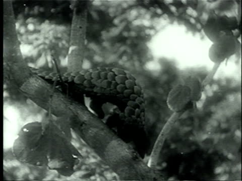 1939 ms focus pangolin or 'scaly anteater' jumping off tree branch/ africa/ audio - pangolino video stock e b–roll