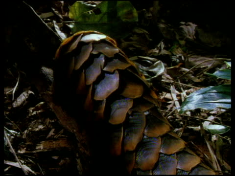 Pangolin walks on branch in forest foliage, cut to view of pangolin tail as it drags along branch, cut to pangolin as it sniffs the air.