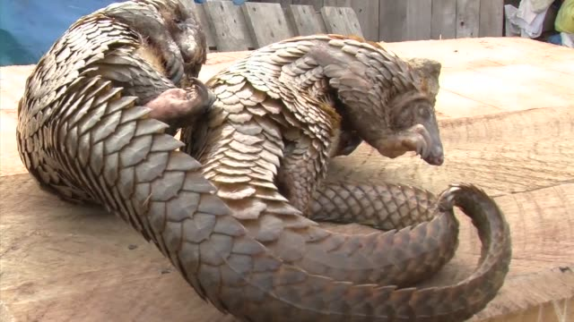 pangolins are said to be the world's most trafficked mammal - pangolino video stock e b–roll
