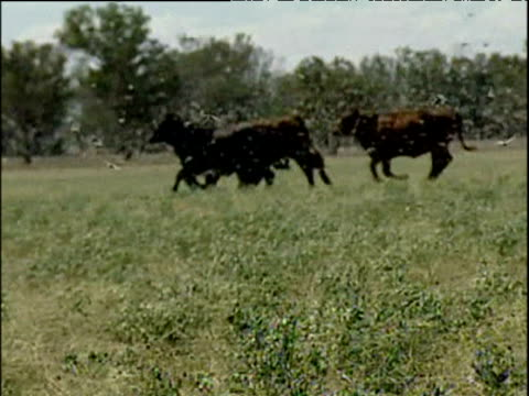 panicked cattle run from plague of locusts new south wales apr 04 - 働く動物点の映像素材/bロール