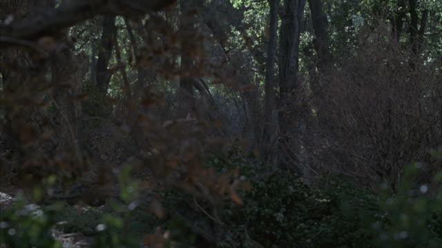 vídeos de stock, filmes e b-roll de pan-left of a doe running through the dense undergrowth of a dark forest. - corça
