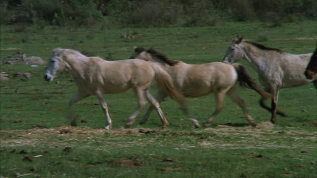 Pan-left of a herd of horses trotting through a field.