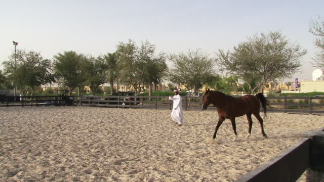 panleft on an emirati trainer holding a training whip in an outdoor manege or horse training arena taking a horse through its paces - horse stock videos & royalty-free footage