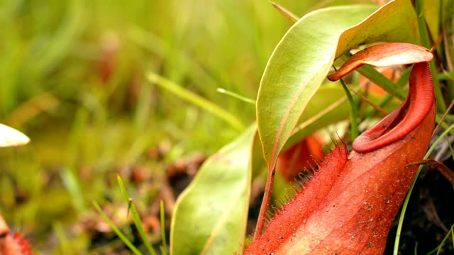 panning:  a bush of nepenthes - carnivorous plant stock videos and b-roll footage