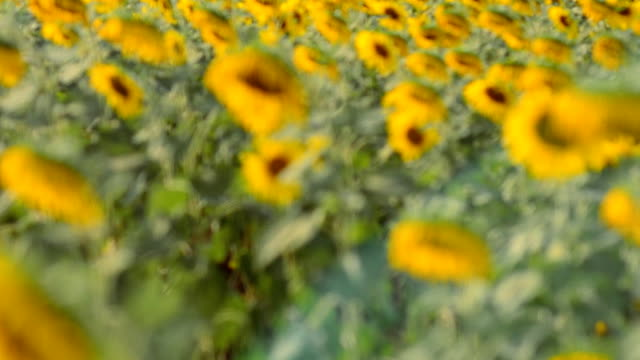 panning: a sunflower farm  in afternoon - common sunflower stock videos & royalty-free footage