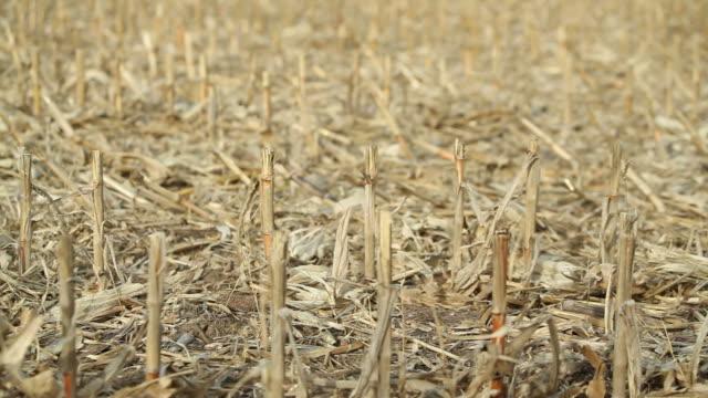 Panning Across Harvested Corn Stalks
