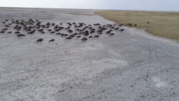 Panning aerial view of a group of wildebeest running across the vast Makgadikgadi Pans