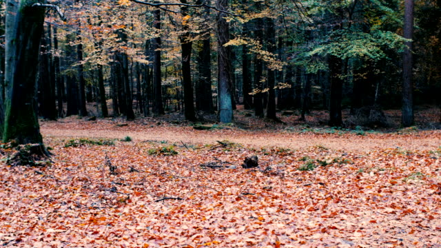 Panning :Autumn forest pan view,Northern Ireland