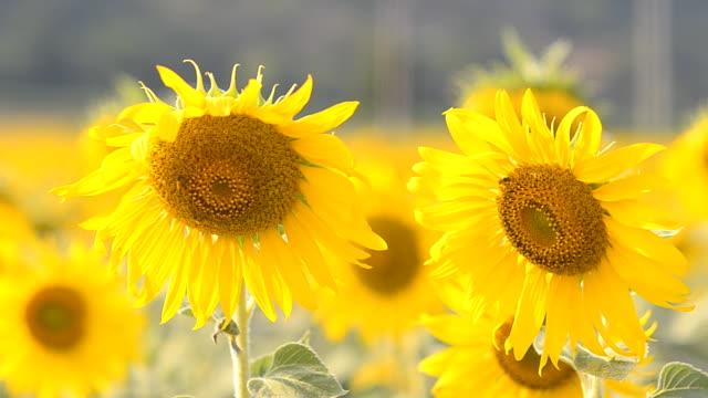 vídeos y material grabado en eventos de stock de toma panorámica : abeja recogida de polen en un girasol - una rosa
