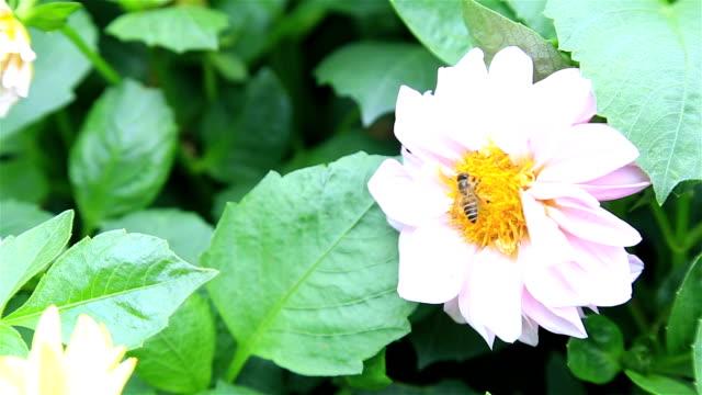 HD Schwenken : Biene Geraffte blütenstaub staub~~pos=headcomp von Blumen.