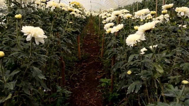 panning: chrysanthemum garden is ready to harvest - chrysanthemum stock videos & royalty-free footage