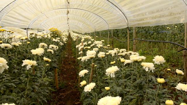 panning: chrysanthemum garden - chrysanthemum stock videos & royalty-free footage