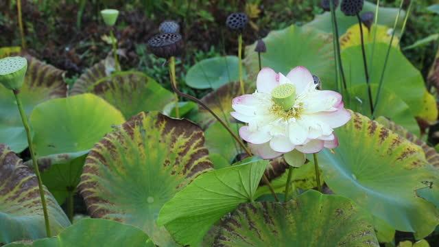 stockvideo's en b-roll-footage met panning klem van een vijver met bloeiende lotusbloembloem - hd format