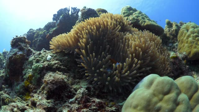vidéos et rushes de panning: clown fish exploring the corals of bali indonesia - anémone de mer
