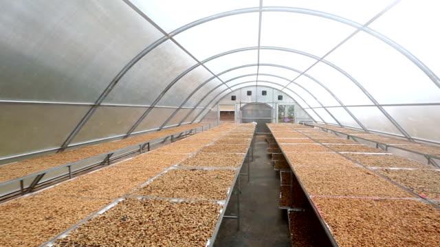 vídeos de stock e filmes b-roll de hd rolamento: grãos de café secagem solar casa colonial - energias renovaveis