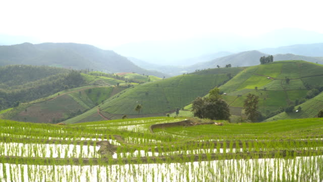 panning: delighted rice terrace is wide until all mountain