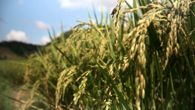 panning: ear of rice under sun light