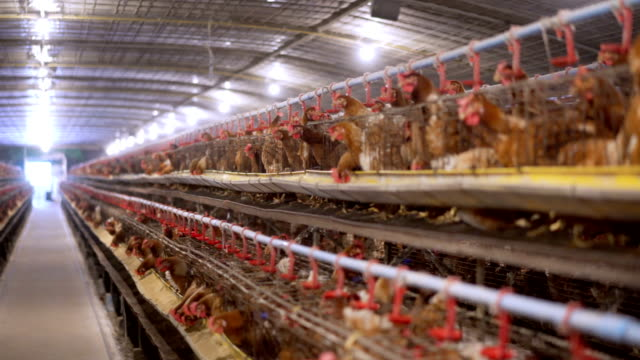 4k panning eggs chicken farm - farm stock videos & royalty-free footage