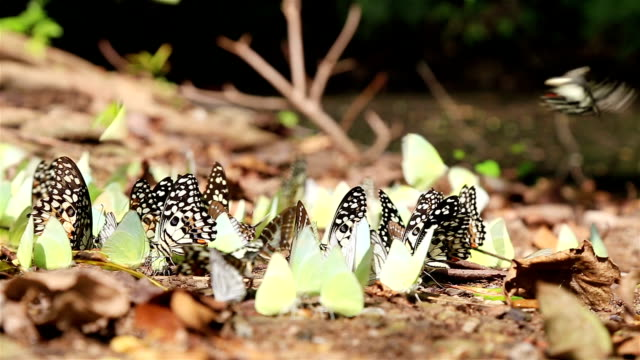 HD Panning: Flocks of butterflies on the ground