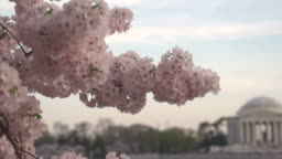 Panning from Blossoms to Jefferson Memorial