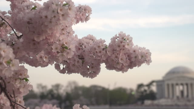 panning from blossoms to jefferson memorial - washington dc stock videos & royalty-free footage