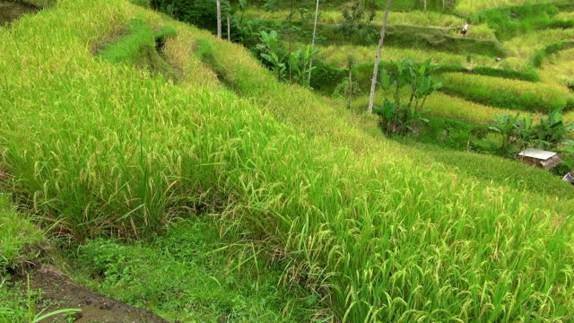 panning from the close up of budding rice fields - ubud district stock videos & royalty-free footage