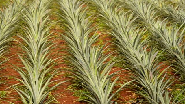 パン: パイナップル農園の良い組織