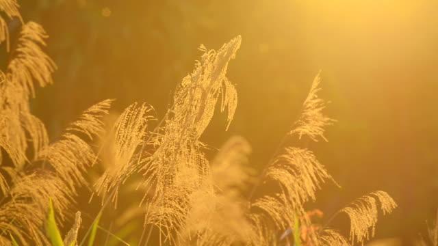 Schwenken:  Gras und Blumen unter dem wind bei Sonnenuntergang