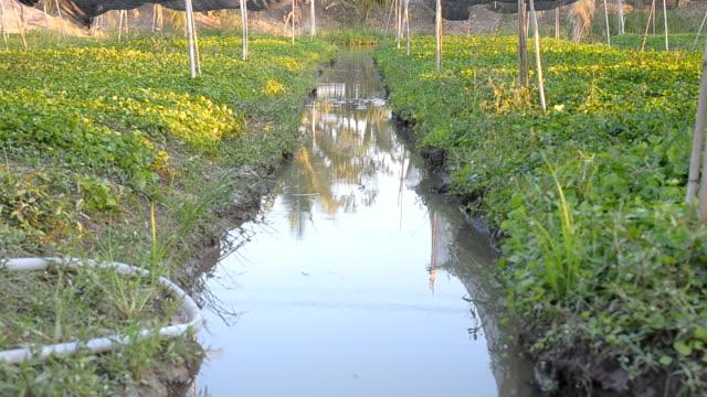 panning: gutter of centella asiatica leaf  farm - vibrio stock videos & royalty-free footage