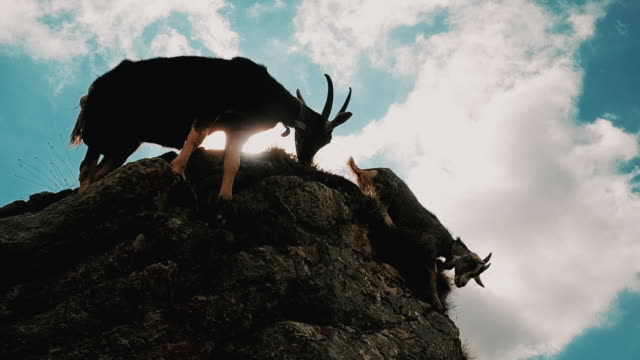 vidéos et rushes de panning handheld shot showing two mountain ibex at the edge of a cliff, bern canton, switzerland - bouquetin des alpes