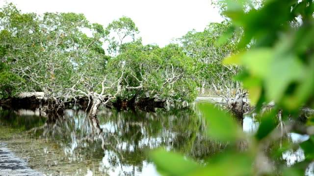 panning: Intertidal floresta e Avicennia alba