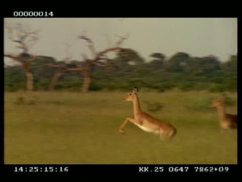 ms panning left of impala (aepyceros melampus) leaping - antilope stock-videos und b-roll-filmmaterial