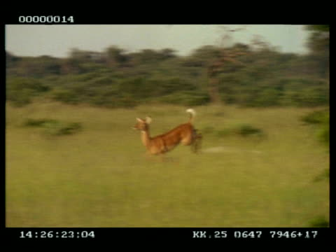 MS Panning left of single Impala (Aepyceros melampus) leaping/running through grassland