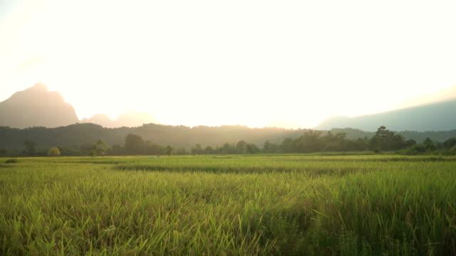 panning: light from sunset among golden rice field