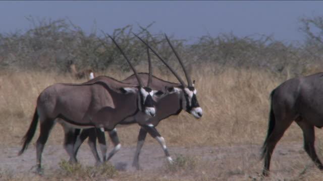 vídeos y material grabado en eventos de stock de panning long shot of gemsbok walking across grassland - cuatro animales