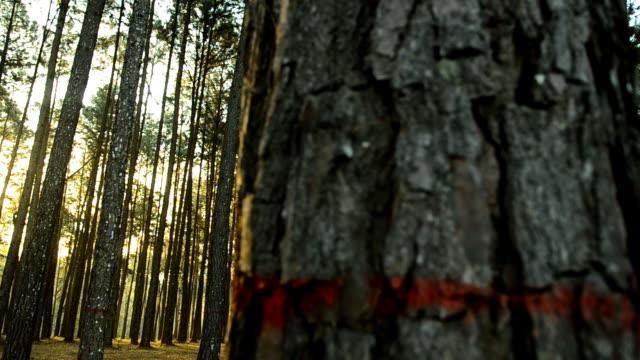 stockvideo's en b-roll-footage met pannen: lage zon in pine forest in ochtend - naaldboom