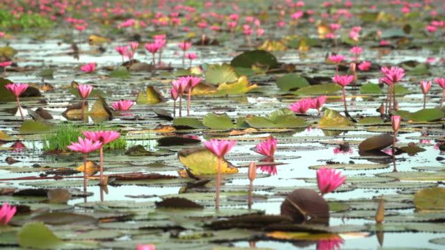 vídeos y material grabado en eventos de stock de panorámica: muchos loto rosa en humedales thale noi - loto