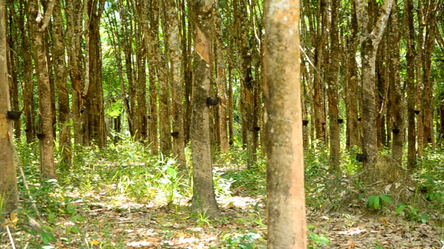 panning : mature rubber tree garden in south of thailand - rubber tree stock videos & royalty-free footage