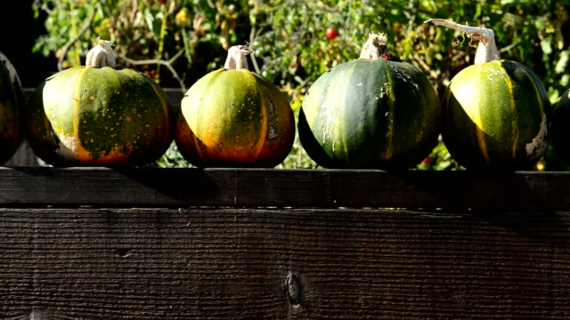 panning movement of pumpkin zucchini's on a garden fence - courgette stock videos and b-roll footage