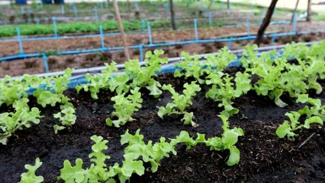 Panning of planting organic green oak lettuce in soil plot