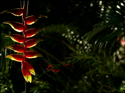 panning over hanging heliconia flower - heliconia stock videos & royalty-free footage