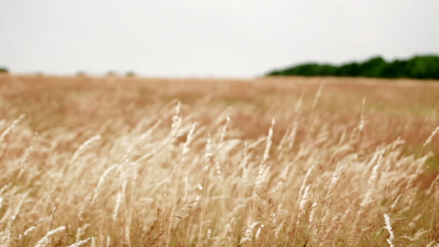 Panning Over Long Grass as it Blows in the Wind