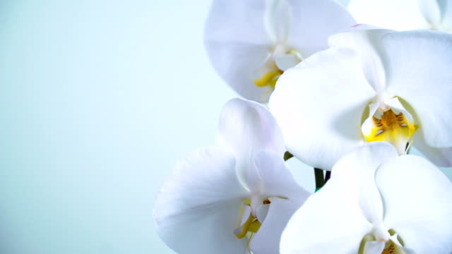 panning:  phalaenopsis orchid - orchid stock videos & royalty-free footage