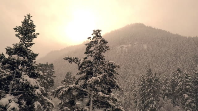 Panning pine trees covered in snow with sun shining over forest