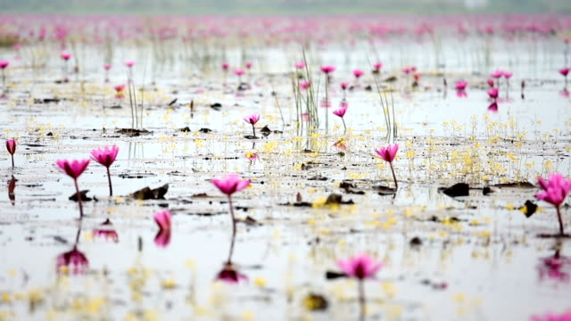 HD Panning: Red Lotus lake in Udonthani Thailand