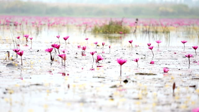 hd panning: red lotus lake in udonthani thailand - lotus position stock videos & royalty-free footage