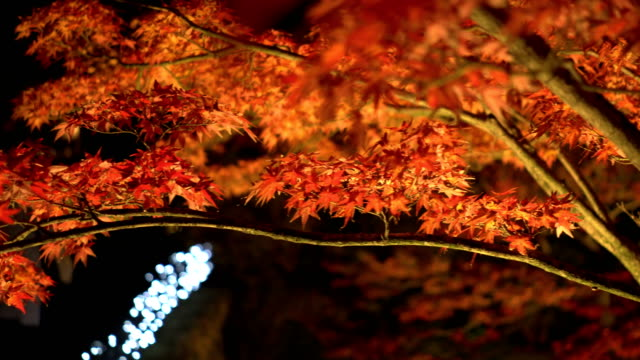 panning: red maple branch on at night - autumn leaf color stock videos and b-roll footage