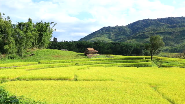 HD Panning: Rice plantations in the mountains.